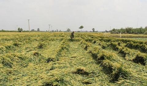 因大风降雨北方多地小麦倒伏 小麦正处于生长关键期将造成减产